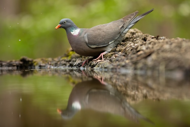 Common wood pigeon standing on ground with reflection in water