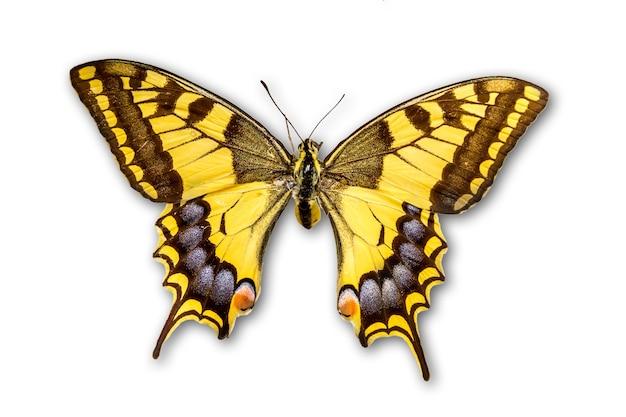 흰색 배경에 고립 된 일반적인 노란색 호랑 나비과
