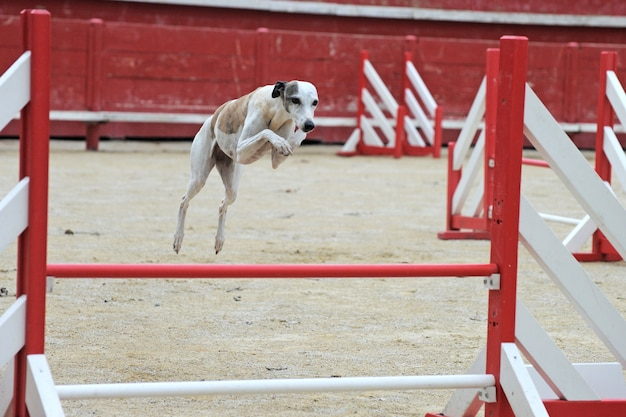 敏competition性のある競技でのジャンプウィペット