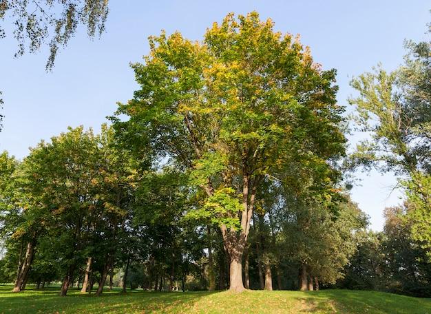 秋の公園のカエデの枝の葉で完全に覆われ、葉の一部は緑色で、葉が落ちる前に一部が色を変え始めました