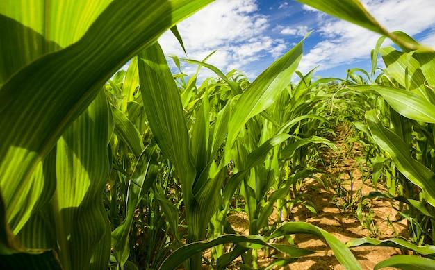 옥수수 녹색 농지가 가득