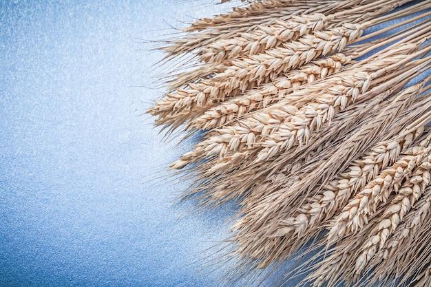 Композиция из золотых пшенично-ржаных колосьев на синей поверхности