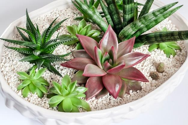 실내 장식을위한 세라믹 흰색 화분의 다양한 다육 식물의 구성 프리미엄 사진