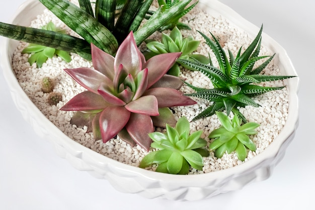 Composition of variety of succulents in ceramic white flower pot for interior decoration