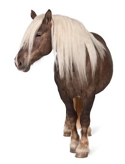 Comtois馬、ドラフト馬、エクウスcaballus立っているイオンホワイト分離