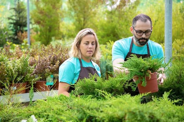 Giardinieri concentrati che organizzano piante di conifere in giardino. uomo e donna che indossa grembiuli e crescente thuja piccola in serra. messa a fuoco selettiva. attività di giardinaggio commerciale e concetto estivo