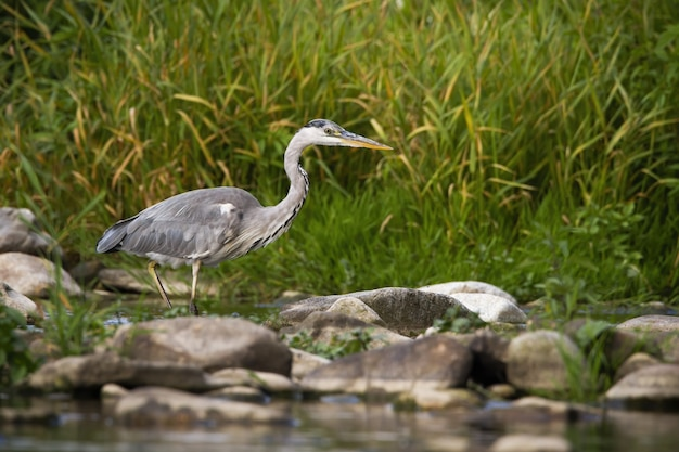 Concentrated grey heron wading a river during a hunt at sunrise in summer