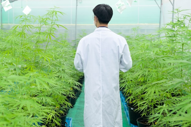 Concept of cannabis plantation for medical, a scientist using tablet to collect data on cannabis sativa indoor farm