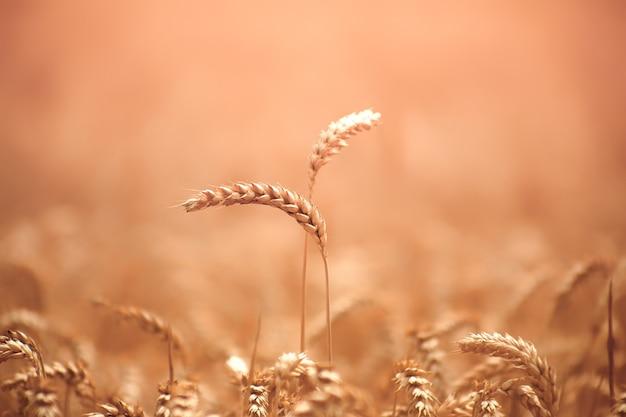 Концепция, пара. сбор зерновых. два колосья пшеницы на поле. крупный план.