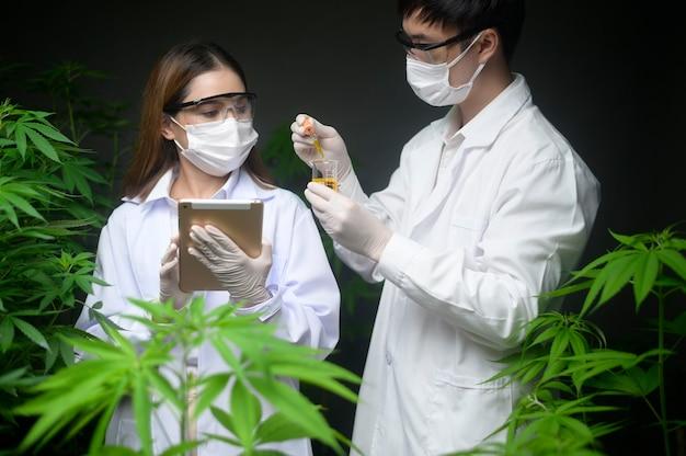 医療用大麻プランテーションの概念、大麻農場で分析するための試験管とラップトップを持っている科学者