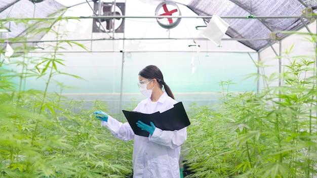Концепция плантации каннабиса для медицины, ученый собирает данные о закрытой ферме каннабиса сативы