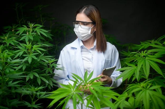 医療用大麻プランテーションの概念、タブレットを使用して大麻屋内農場に関するデータを収集する科学者