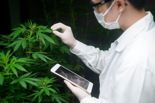 医療用大麻プランテーションの概念、タブレットを使用して大麻サティバ屋内農場に関するデータを収集する科学者