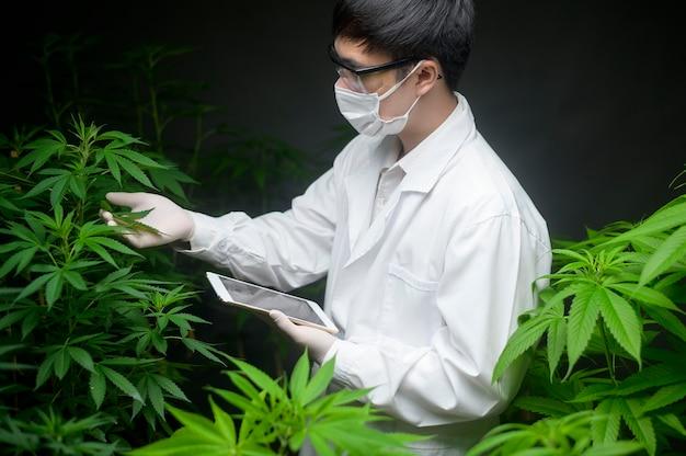 医療用大麻プランテーションの概念、タブレットを使用して大麻サティバ屋内農場のデータを収集する科学者