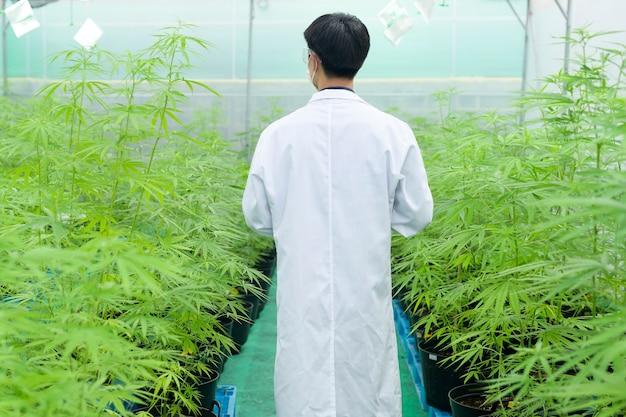 医療用の大麻プランテーションの概念、タブレットを使用して大麻サティバ屋内農場に関するデータを収集する科学者