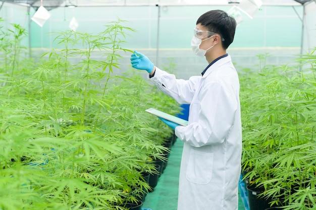 Концепция плантации каннабиса для медицины, ученый использует планшет для сбора данных о закрытой ферме каннабиса сативы