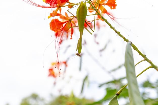 自然のケアの概念カマキリまたはlouva-deusの詳細。カマキリをクローズアップ。ブラジルの昆虫