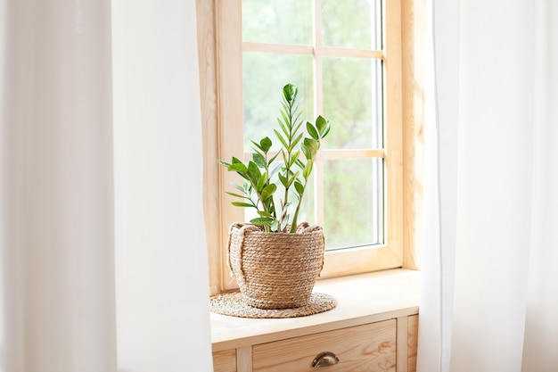 ホームガーデニングのコンセプト。窓辺の植木鉢のzamioculcas。窓辺の家の植物。自宅の窓辺に鍋に緑の家の植物。ヒゲ。自由ho放に生きる。素朴。スカンジナビア。テキスト用のスペース