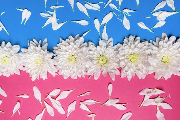 Концепция минимальной природы и романтики белые цветы хризантемы на пастельно-розово-синем фоне с лепестками