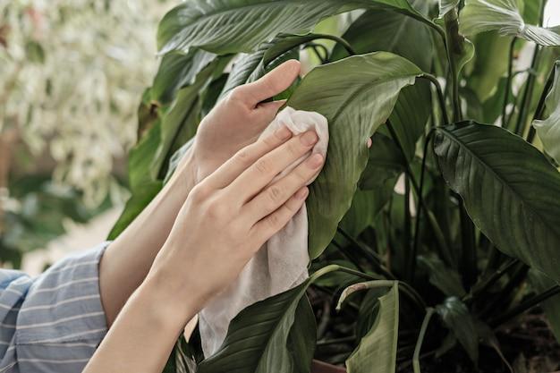 植物ケアのコンセプト、女性の手がほこり、ライフスタイル、自然とのつながりから大きな葉をこすりました