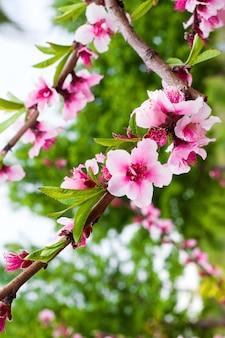 フラワーショップの広告用の花と芳香剤のフレグランスのコンセプト写真。緑豊かな庭園の壁に桜のクローズアップ。
