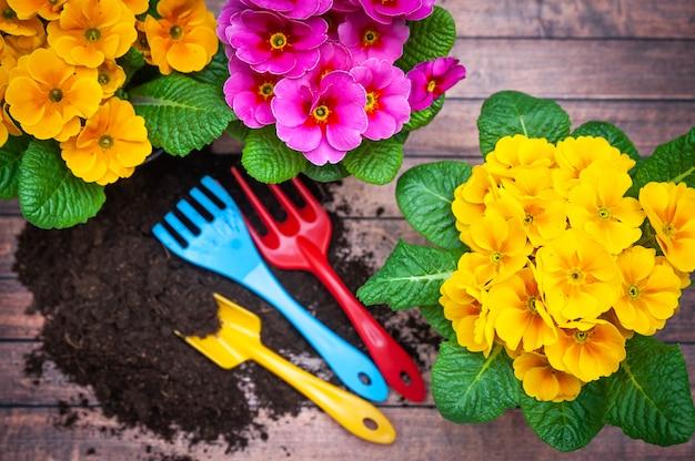 Концепция весенней посадки, гармонии и красоты. цветы примула розово-желтые и садово-огородный инструмент, плоская планировка