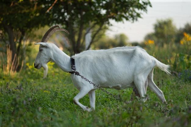 Концептуальная фотография здоровья козы. привлекательное фото козы. портрет счастливой молодой козы. усадьба для разведения скота.