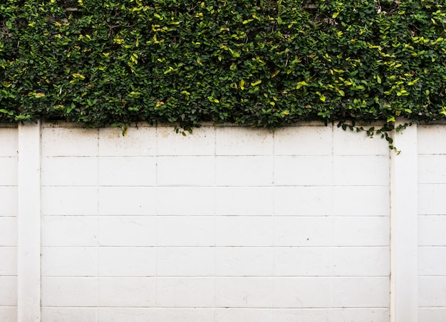 Concrete wall with green leaves. background