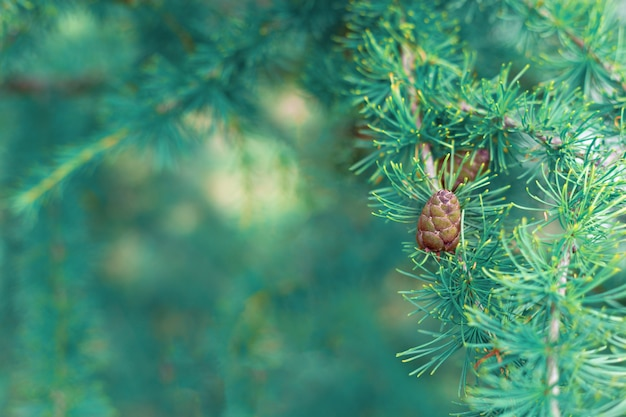 A cone of fir on a branch on blurred aquamarine needles.