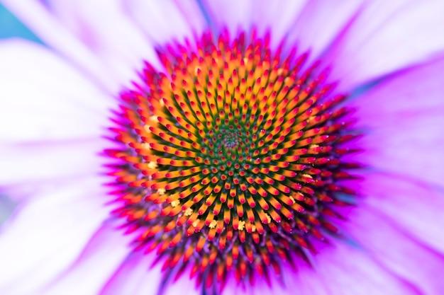 Cone flower, echinacea.