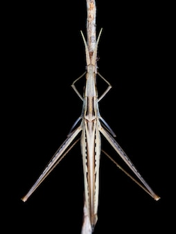 Cone-headed grasshopper (acrida ungarica) during the night