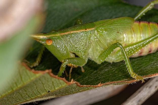 Conehead katydid nymph of the subfamily conocephalinae