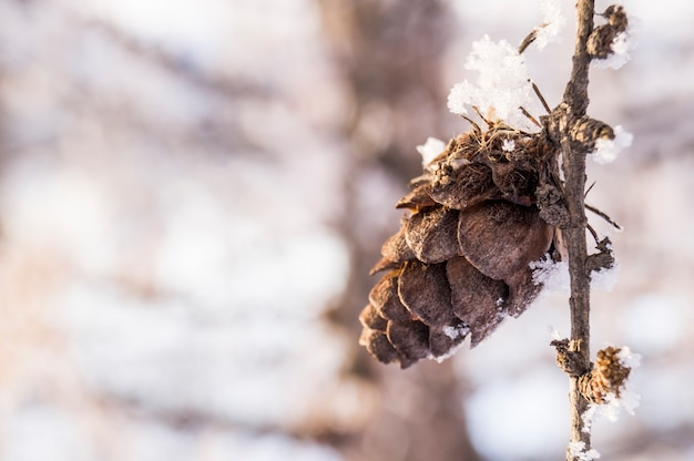 Cones on a spruce branch against a forest background in winter