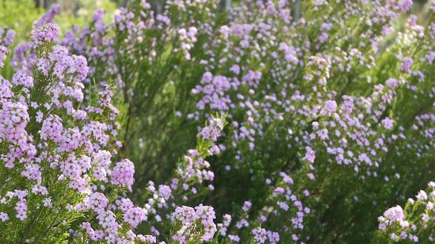 Цветок сирени куста конфетти, калифорния сша. весеннее цветение coleonema pulchellum, buchu diosma. домашнее озеленение, американское декоративное декоративное комнатное растение. естественная ботаническая атмосфера весеннего цветения.