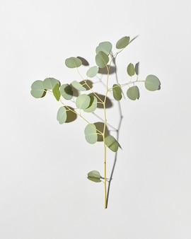 ユーカリ植物の常緑の新鮮な自然の枝からのお祝いカード。柔らかい影のある明るい灰色のダブルトーンの壁、コピースペース。