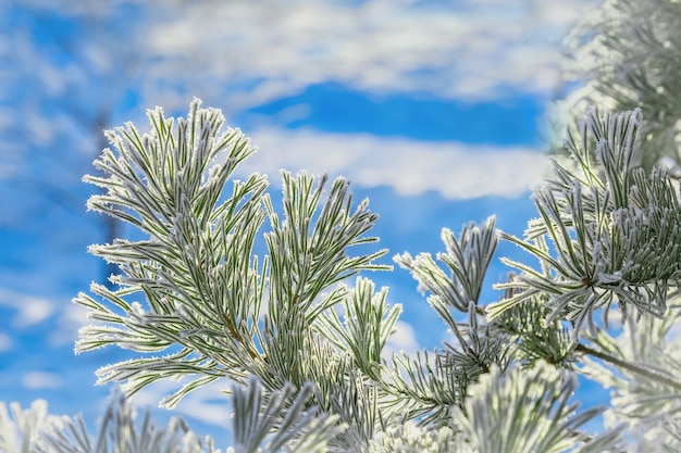 Conifer branches close up with needles covered with white frost on blurred sky