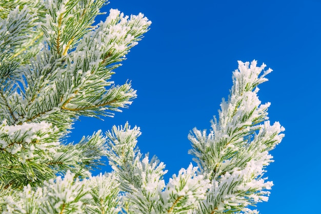 Conifer branches with needles covered white frost and snow on blue sky