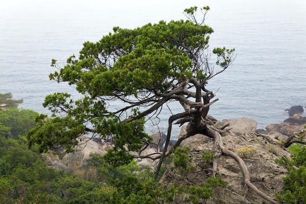 春の海岸ビューの背景に針葉樹(クリミア半島、ウクライナ)