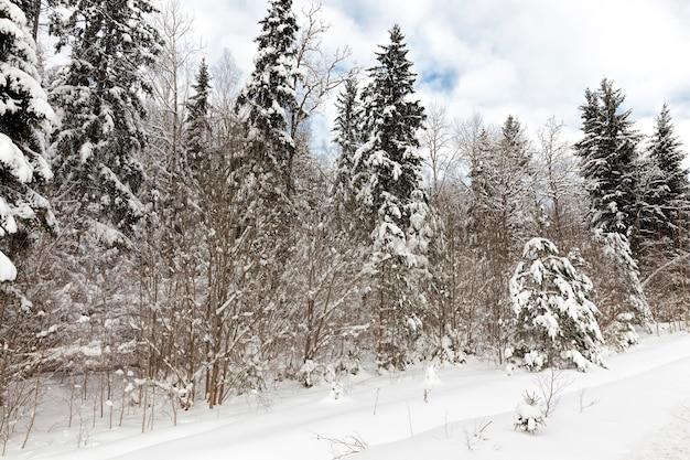 冬に葉のない針葉樹と落葉樹