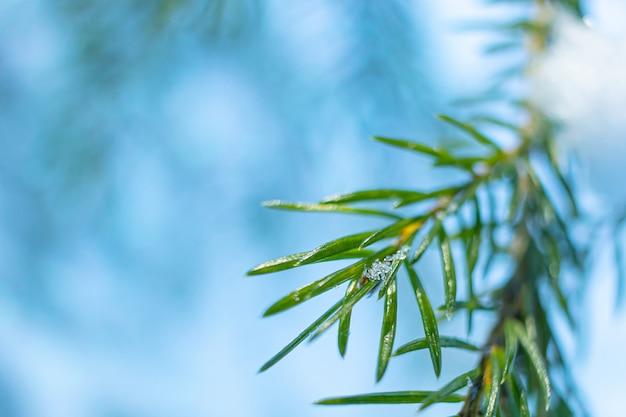 冬の針葉樹枝のクローズアップ
