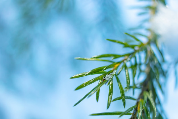 Coniferous branch close-up in winter,