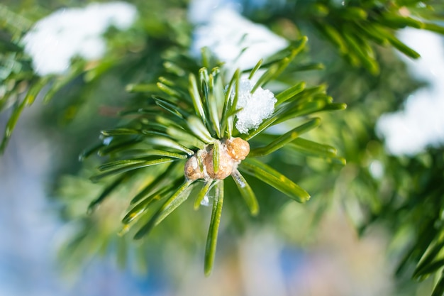 Coniferous branch close-up in winter