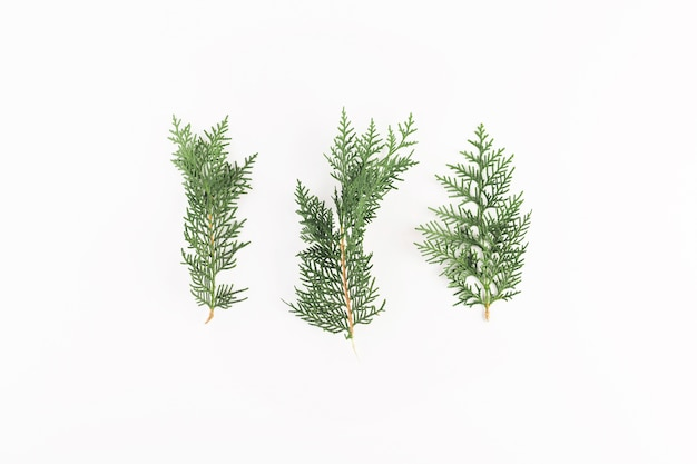Coniferous branches on light board