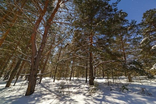 Хвойный лес после снегопада. снято зимней ночью при полной луне.