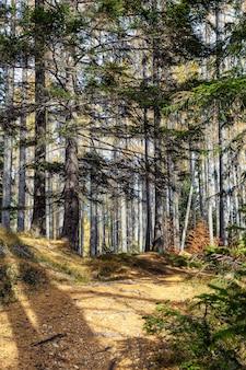 太陽に照らされた秋の針葉樹林
