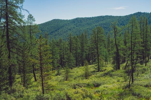 高地の針葉樹林。森に覆われた巨大な山に対する牧草地のカラマツ。