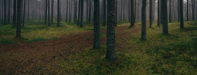 Coniferous forest panorama by foggy morning