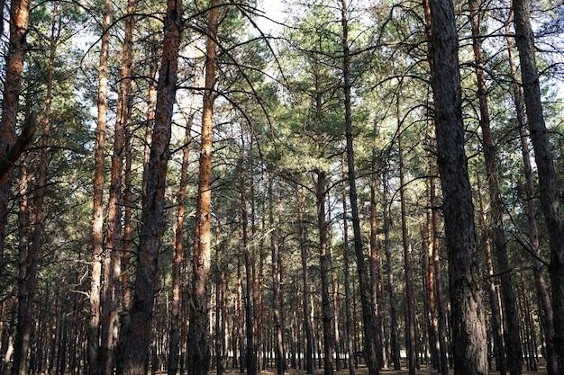針葉樹林、背の高いトウヒ、手つかずのトウヒの森
