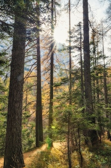 Coniferous forest with direct sunlight