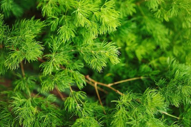 Coniferous nature background. larch branch.